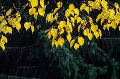 Ramas de un abedul en un bosque del otoño Foto de archivo