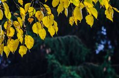 Ramas de un abedul en un bosque del otoño Fotografía de archivo libre de regalías