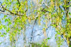 Ramas de un abedul joven y de un cielo azul, el concepto de primavera, papel pintado natural Imagen de archivo libre de regalías