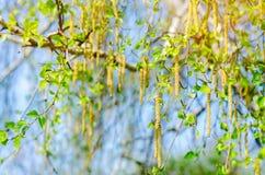 Ramas de un abedul joven y de un cielo azul, el concepto de primavera, papel pintado natural Fotografía de archivo libre de regalías