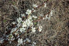 Ramas de un albaricoque floreciente Fotografía de archivo