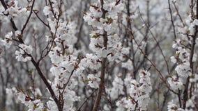 Ramas de un albaricoque floreciente en el fondo de la nieve mojada Primer almacen de video