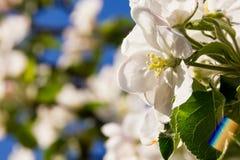 Ramas de un Apple-árbol floreciente contra Fotografía de archivo libre de regalías