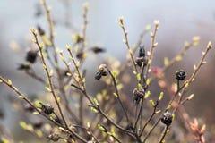 Ramas de un arbusto viejo con los nuevos brotes verdes Foto de archivo libre de regalías