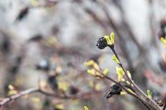 Ramas de un arbusto viejo con los nuevos brotes verdes Imagenes de archivo
