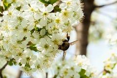 Ramas de una cereza floreciente blanca contra el cielo azul Abejorro en la flor Foto de archivo