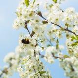 Ramas de una cereza floreciente blanca contra el cielo azul Abejorro en la flor Concepto de primavera hermosa de la naturaleza Foto de archivo