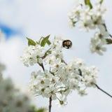 Ramas de una cereza floreciente blanca contra el cielo azul Abejorro en vuelo en la flor Concepto de naturaleza hermosa Imagenes de archivo