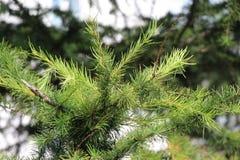 Ramas del árbol conífero Imágenes de archivo libres de regalías