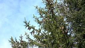 Ramas del árbol de abeto perenne con los conos contra el cielo almacen de metraje de vídeo