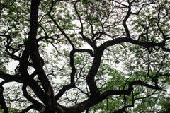 Ramas del árbol de lluvia grande Imágenes de archivo libres de regalías