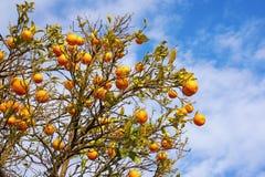 Ramas del árbol de mandarina con las frutas maduras contra el cielo azul Foto de archivo