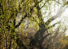 Ramas del abedul con amentos El abedul del árbol del flor de la primavera con verde joven se va en las ramitas Principio de la nu Foto de archivo