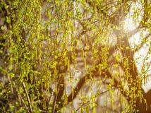 Ramas del abedul con amentos El abedul del árbol del flor de la primavera con verde joven se va en las ramitas Principio de la nu Imagen de archivo