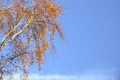 Ramas del abedul con caída amarilla del otoño de las hojas Fotos de archivo libres de regalías
