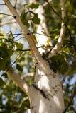 Ramas del abedul con la corteza blanca en naturaleza Imagen de archivo libre de regalías