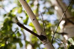 Ramas del abedul con la corteza blanca en naturaleza Fotos de archivo