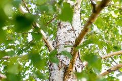 Ramas del abedul con la corteza blanca en naturaleza Fotografía de archivo