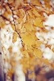 Ramas del abedul con las hojas amarillas Fotografía de archivo