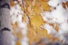 Ramas del abedul con las hojas amarillas Foto de archivo