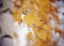 Ramas del abedul con las hojas amarillas Imágenes de archivo libres de regalías