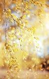 Ramas del abedul con las hojas amarillas Fotografía de archivo libre de regalías