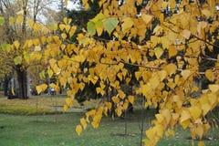 Ramas del abedul con las hojas amarillas en otoño Imagen de archivo libre de regalías