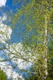 Ramas del abedul con las hojas de los jóvenes en el viento Imagen de archivo