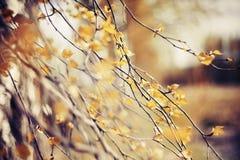 Ramas del abedul con las hojas descoloradas Fotos de archivo libres de regalías