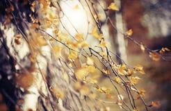 Ramas del abedul con las hojas descoloradas Fotos de archivo