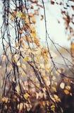 Ramas del abedul con las hojas descoloradas Imagen de archivo