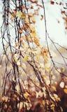 Ramas del abedul con las hojas descoloradas Foto de archivo libre de regalías