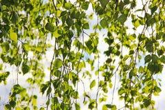 Ramas del abedul con las hojas, fondo natural Imagen de archivo libre de regalías
