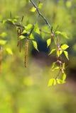 ramas del abedul con las hojas frescas en día de primavera Fotografía de archivo