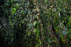 Ramas del abedul con las hojas verdes Fotografía de archivo