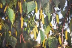 Ramas del abedul con las hojas y los brotes, day_ de la primavera Fotos de archivo