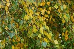 Ramas del abedul con las pequeñas hojas coloreadas en la calle Imagen de archivo libre de regalías