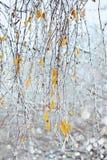 Ramas del abedul con los carámbanos debajo de la lluvia sobrefundida Imagenes de archivo