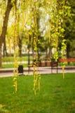 Ramas del abedul con los pendientes y las hojas de los jóvenes Imagen de archivo
