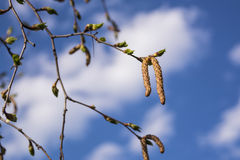 Ramas del abedul contra el cielo azul Primer de los brotes del abedul de la primavera contra el cielo azul Fotografía de archivo libre de regalías
