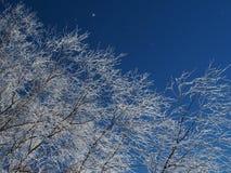 Ramas del abedul cubiertas con escarcha en un cielo azul del fondo Imágenes de archivo libres de regalías