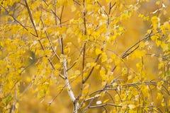 Ramas del abedul cubiertas con las hojas de otoño de oro Foto de archivo