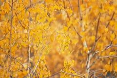 Ramas del abedul cubiertas con las hojas de otoño de oro Imágenes de archivo libres de regalías
