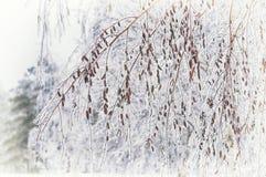 Ramas del abedul cubiertas con nieve en el bosque nevado del invierno Foto de archivo
