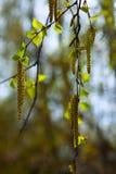 Ramas del abedul de la primavera Imagen de archivo libre de regalías