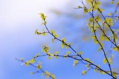 Ramas del abedul de la primavera Foto de archivo libre de regalías