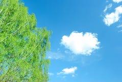 Ramas del abedul de la primavera cubiertas con las primeras hojas Foto de archivo libre de regalías