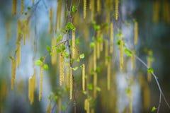 Ramas del abedul de la primavera en fondo de la falta de definición Imagen de archivo