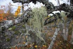 Ramas del abedul en el bosque del otoño Fotografía de archivo libre de regalías