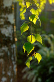 Ramas del abedul en luz del sol Hojas del abedul en el bosque Imágenes de archivo libres de regalías